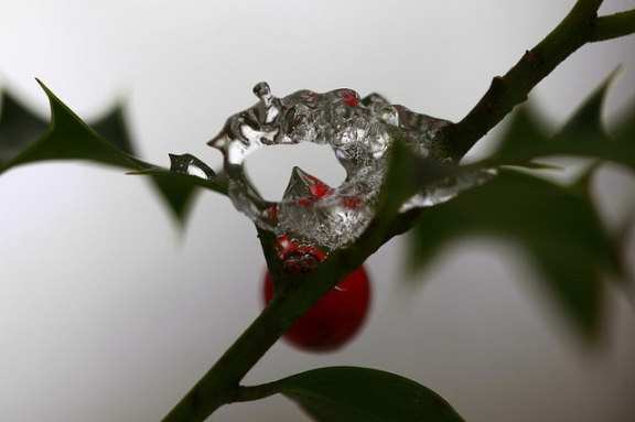 The Holly Bears the Crown by Jenny Downing