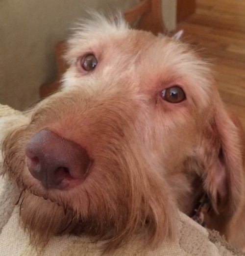 Hi there! I am Wirehaired Vizsla Point of Honor Vizcaya Dallas, but you can call me Afton...or Ashton....or Aston.